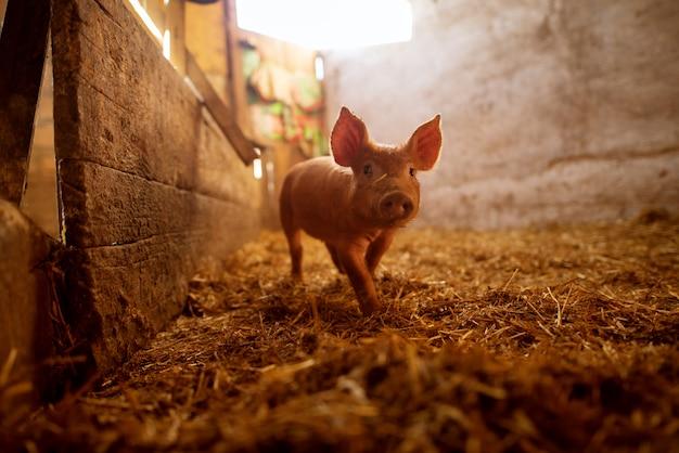 Ondiepe diepte van gebieds varkensportret bij varkensstal