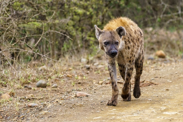 Ondiepe focus shot van een gevlekte hyena lopen op een onverharde weg met een wazige ruimte