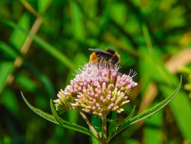 Ondiepe focus shot van een honingbij die nectar van een bloem verzamelt
