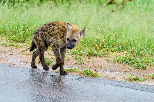 Ondiepe focus shot van een jonge gevlekte hyena die op de weg loopt