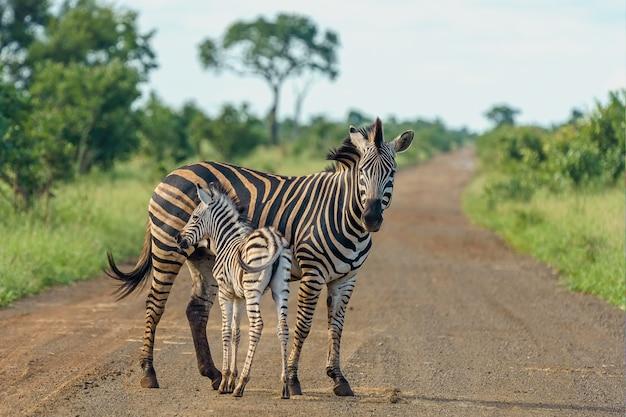 Ondiepe focus shot van een moeder zebra met haar baby staande op de weg