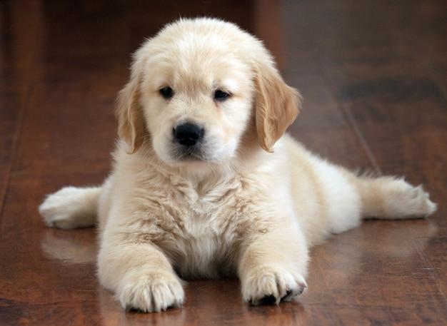 Ondiepe focus shot van een schattige golden retriever pup rustend op de vloer