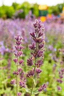 Ondiepe focus shot van levendige engelse lavendel