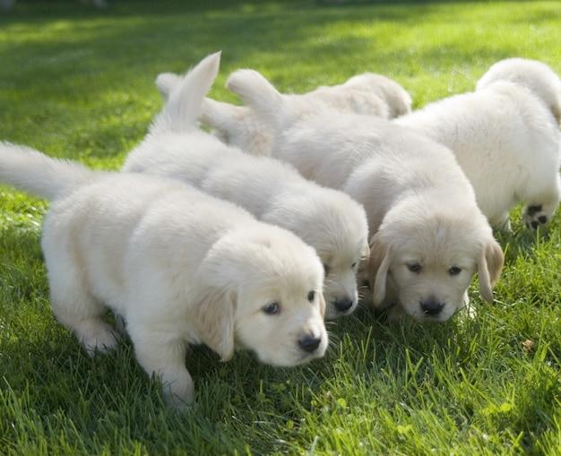 Ondiepe focus shot van schattige golden retriever pups snuiven op de grond