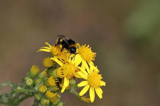 Ondiepe focus van een bij op gele bloemen