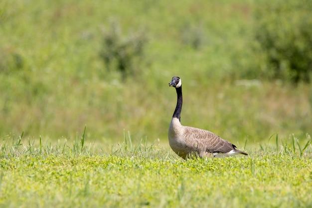 Ondiepe focus van een canadese gans op een groen veld