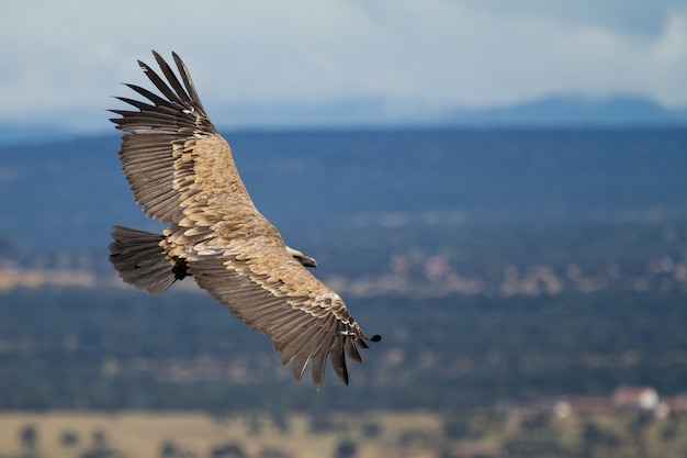 Ondiepe focus van een vale gier (gyps fulvus) die met wijd geopende vleugels vliegt