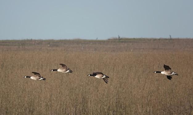 Ondiepe focus van ganzen die op een sombere dag over een veld vliegen