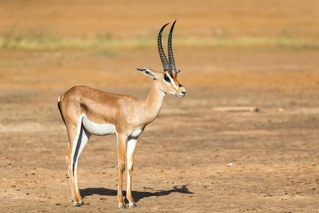 One grant gazelle staat midden in het graslandschap van kenia