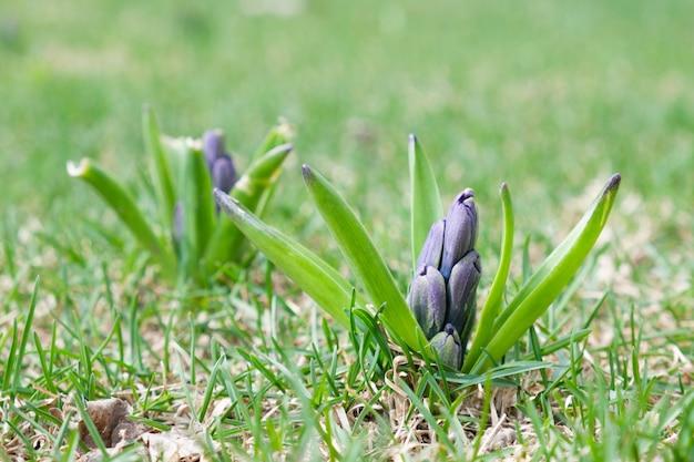 Ongeblazen paarse hyacintknop op een groen lentegazon in de tuin. bloementeelt, bloembeddecoratie.