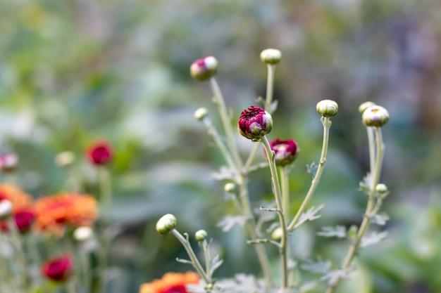 Ongebloeide chrysant bloeit toppen in de tuin met onscherpe achtergrond