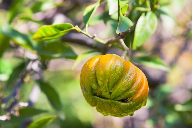 Ongebruikelijke citrus die op een tak in de tuin hangt.