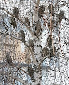 Ongebruikelijke foto overdag van een uil met lange oren die op een boom in het centrum van de stad rust.