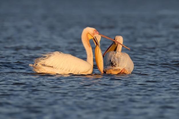 Ongebruikelijke witte pelikaan met wijd open bek drijft op een blauw water