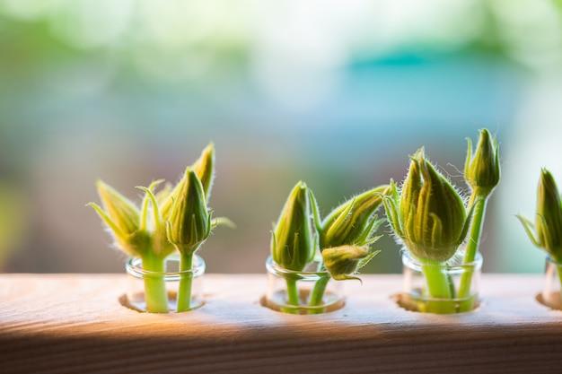 Ongeopende toppen van courgettebloemen in reageerbuizen met water. overtollige knoppen van onvruchtbare bloemen worden van planten verwijderd voor een betere vruchtzetting