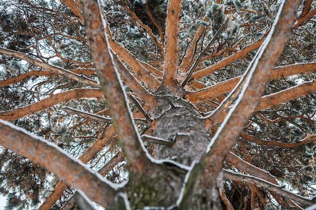 Ongewoon uitzicht op de winter pijnboom, van onder naar boven