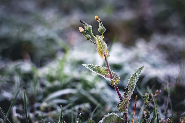 Onkruid in de tuin, bedekt met vorst. laat in de herfst, de eerste vorst