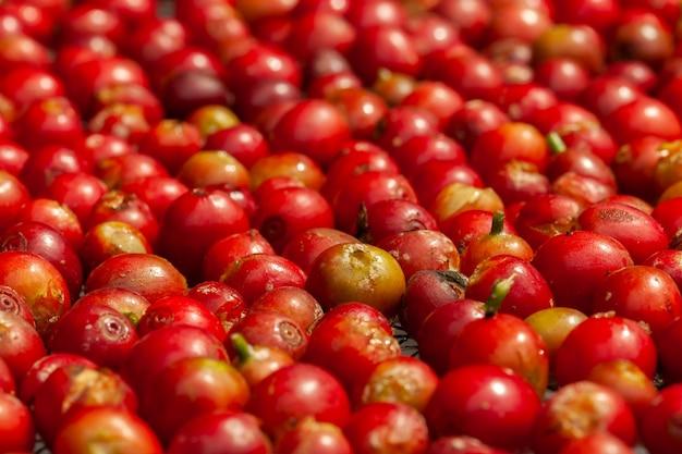 Onlangs geplukte volwassen koffiebonen - coffeea arabica