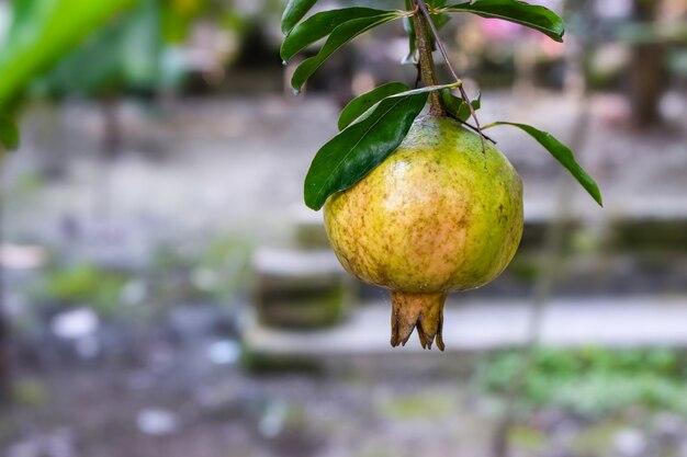 Onrijp groen biologisch granaatappelfruit aan de boom