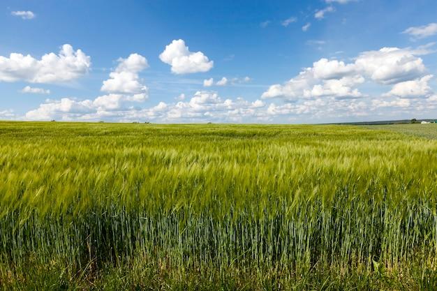 Onrijp groen gras groeit op landbouwgebied