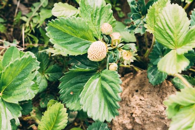 Onrijpe aardbei op plant