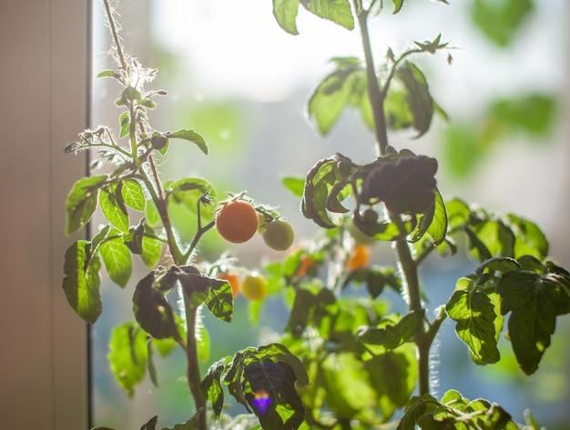 Onrijpe en rijpe kleine tomaten groeien op de vensterbank. verse mini-groenten in de kas op een tak met groen fruit. jonge vruchten op de struik. gele vruchten van tomaten op een tak