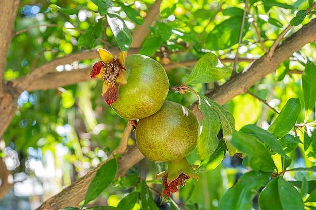 Onrijpe granaatappels op een tak
