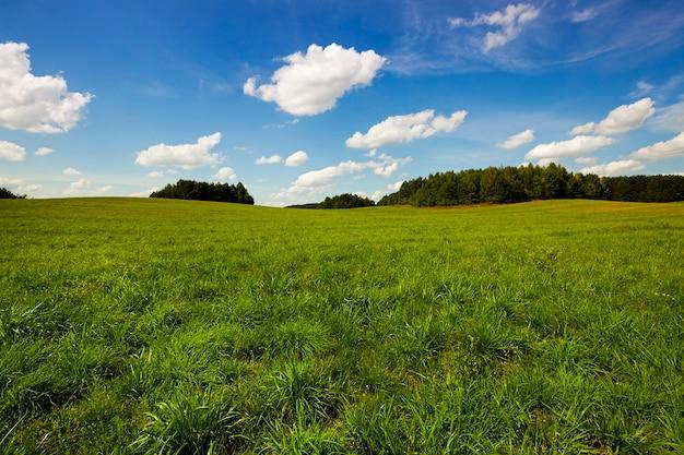 Onrijpe granen - een landbouwveld waarop groene onrijpe granen groeien