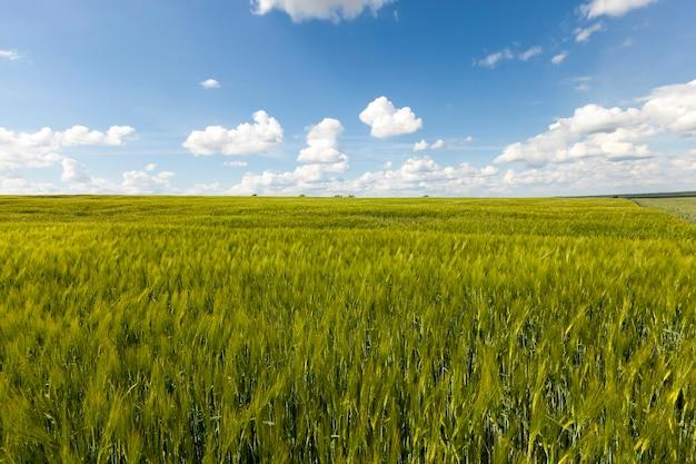 Onrijpe granen - onrijp groen gras groeit op landbouwgebied