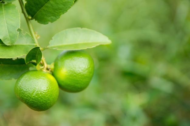 Onrijpe groene kalk die van een lindeboom hangt