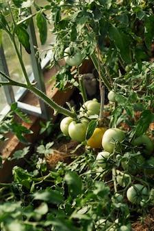 Onrijpe groene tomaten op een struik in een kas. verse oogst. verticaal.