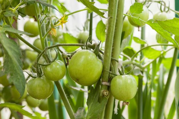 Onrijpe groene tomaten op een tak die in een serre wordt gekweekt