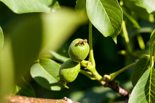 Onrijpe oogst van walnoten