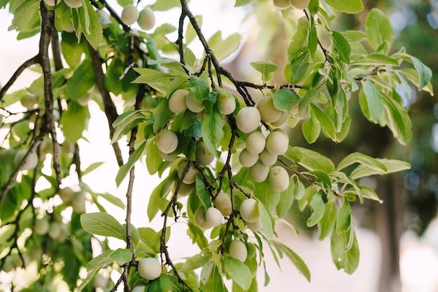 Onrijpe pruim aan de boom. close-up van groene vruchten van pruimenboom op takken in bladeren.