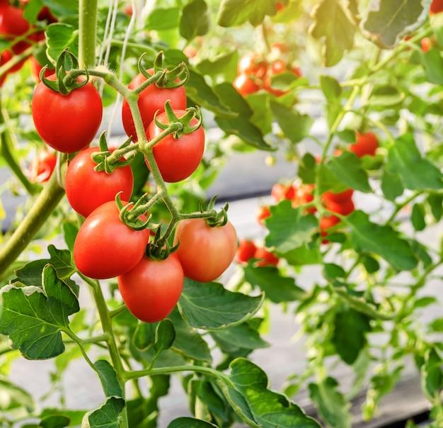 Onrijpe rode tomaat groeit aan de wijnstok