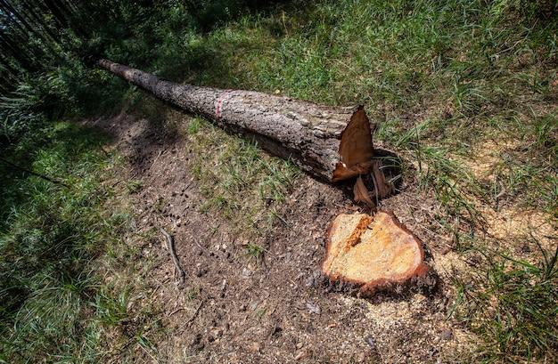 Ontbossing bos en illegale houtkap. bomen zagen. stapels gesneden hout. bossen die illegaal verdwijnen. milieu- en ecologische kwesties
