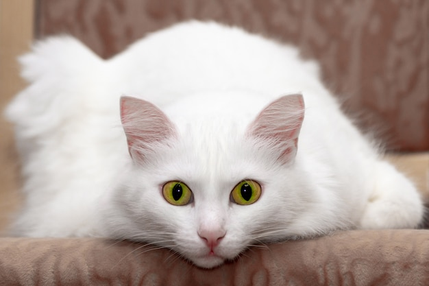 Ontspannen binnenlandse witte kat met groene ogen