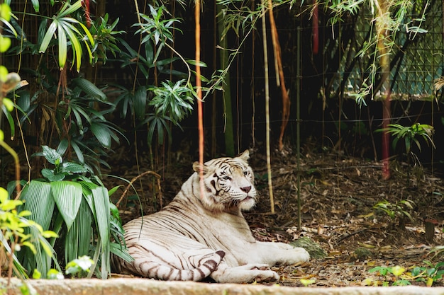 Ontspannende witte bengaalse tijger in singapore.