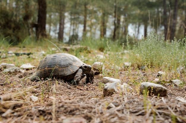 Ontsproten van een kleine schildpad in bos
