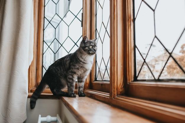 Ontsproten van een mooie grijze en zwarte patroonkat met gele ogen die uit het venster kijken
