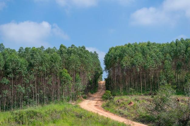 Onverharde weg in het midden van eucalyptusplantage
