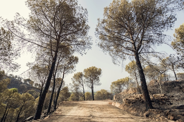 Onverharde weg onder gebrande pijnbomen