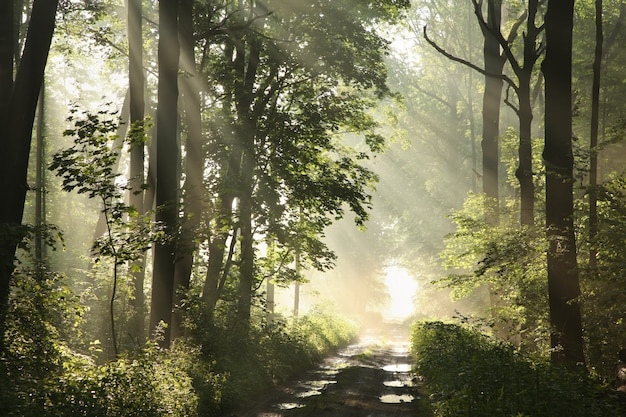 Onverharde weg tussen esdoorns na regenval op een mistige lentemorgen