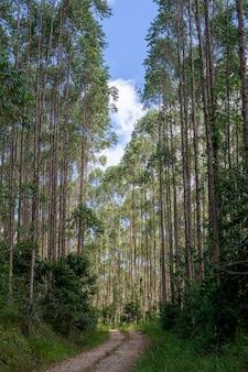 Onverharde weg tussen eucalyptusplantage