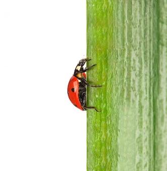 Onzelieveheersbeestje op groen blad