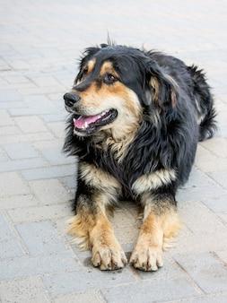 Onzorgvuldig mooie hond ligt op de stoep in het dierenasiel