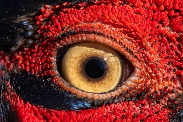 Oog van de ring-necked fazantmannetje