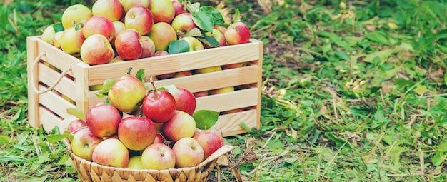 Oogst appels in een doos op een boom in de tuin. selectieve aandacht.