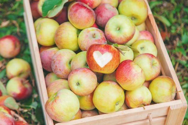 Oogst appels in een doos op een boom in de tuin