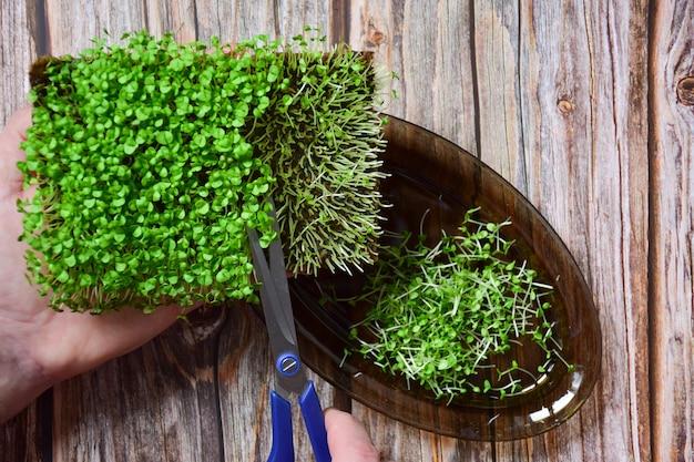 Oogst gekiemde siergroen microgreen basilicum bezuinigingen op een schotel met een schaar op een achtergrond van houten planken.
